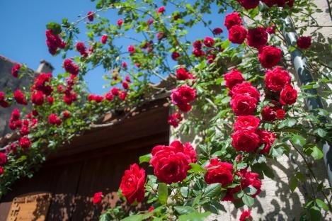Roses were blooming everywhere.  Gotta love spring!