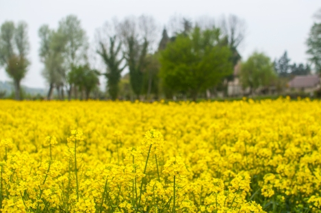 "Beautiful Canola fields (or ""colza"" in French)"